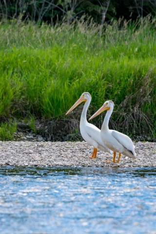 Pelicans on the Red Deer River